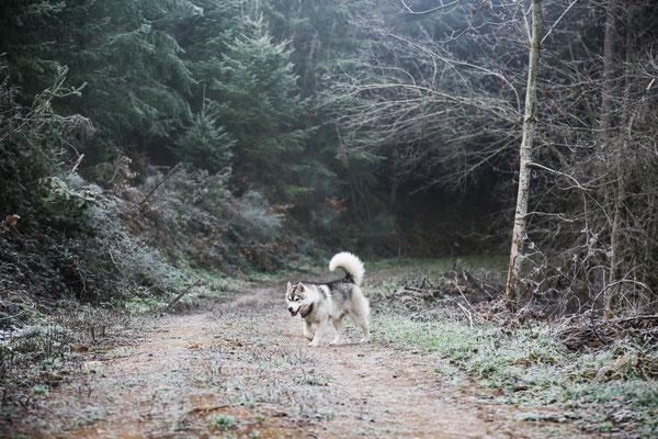 photographe chien toulouse, photo chien extérieur, photographe animalier toulouse, séance photo chien toulouse, photo de husky