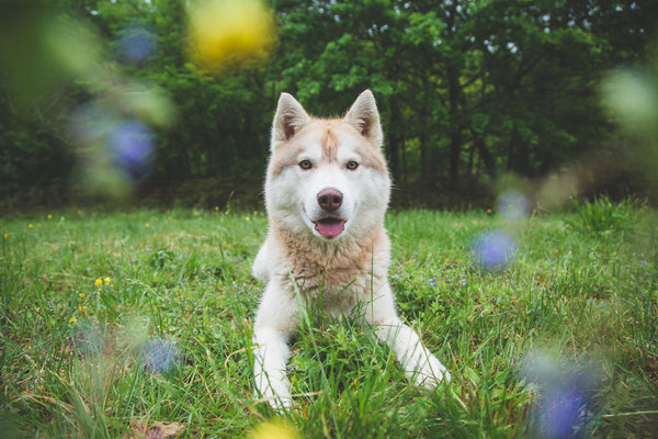photographe chien toulouse, photo chien extérieur, séance photo chien toulouse, photo husky, photographe animalier