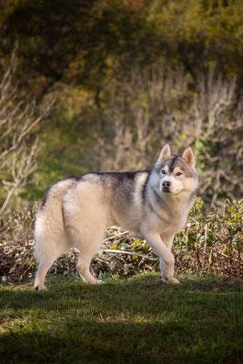 photographe chien toulouse, portrait chien photo, photographe animalier, photo de husky