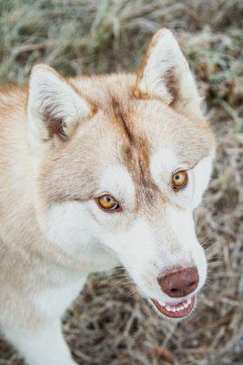 photographe chien toulouse, portrait chien photo, photographe animalier, photo de husky cuivre