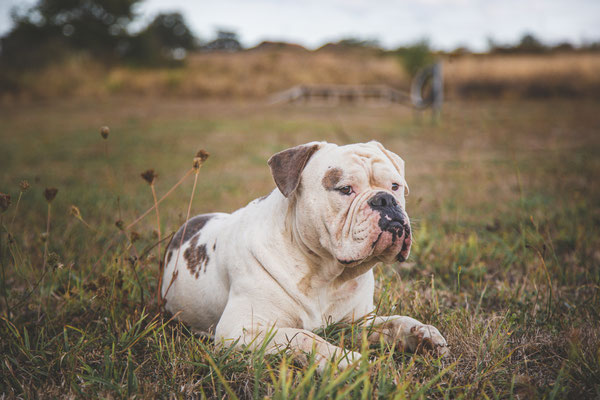 photographe chien toulouse, photo chien extérieur, séance photo chien toulouse, portrait animalier, Old English Bulldog