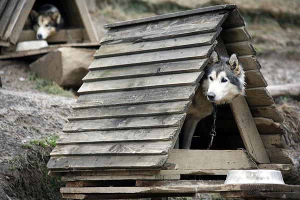 photographe chien toulouse, photo chien extérieur, photographe animalier toulouse, séance photo chien toulouse, photo chien de traineau