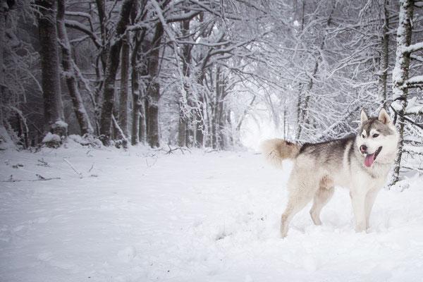 photographe chien toulouse, photo chien extérieur, séance photo chien toulouse, portrait animalier, husky dans la neige