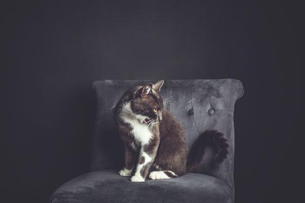 photographe chat studio, séance photo chat studio, portrait chat , photographe animalier toulouse, photo chat