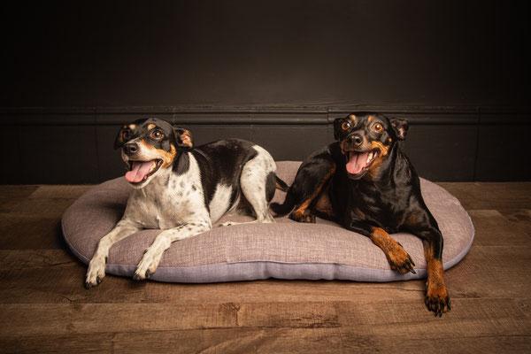 photographe chien studio, séance photo chien studio, portrait chien pinscher , photographe animalier toulouse, photo pinscher