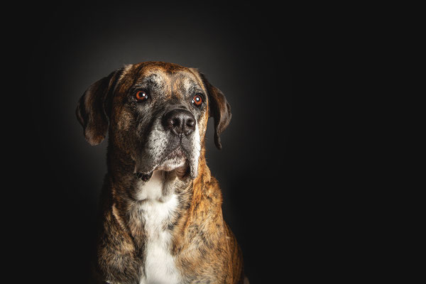 photographe chien studio, séance photo chien studio, portrait chien husky, photographe animalier toulouse