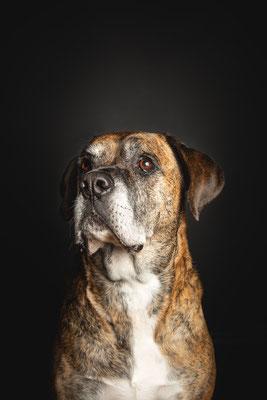 photographe chien studio, séance photo chien studio, portrait chien, photographe animalier toulouse