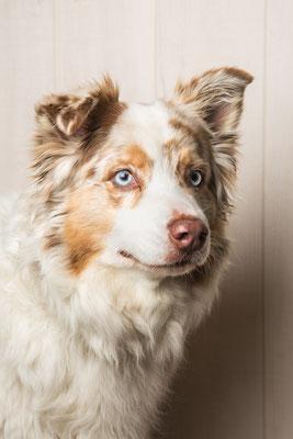photographe chien studio, séance photo chien studio, portrait chien berger australien, photographe animalier toulouse, photo de berger australien