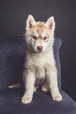 photographe chien studio, séance photo chien studio, portrait chiot husky, photographe animalier toulouse
