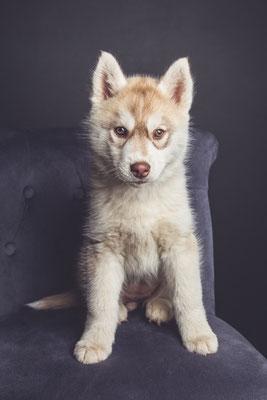 photographe chien studio, séance photo chien studio, portrait chiot husky, photographe animalier toulouse, photo chiot husky cuivre