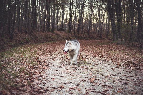 photographe chien toulouse, photo chien extérieur, séance photo chien toulouse, photo de husky