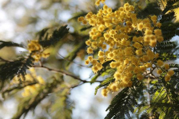 Von Januar bis März blühen die Mimosen
