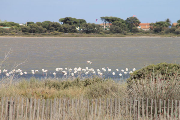 Wilde Flamingos auf der Halbinsel Giens