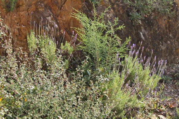 DIE Pflanze der Provence: Lavendel