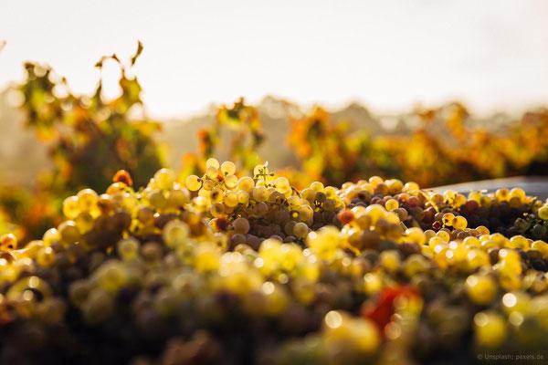 September: Die Weinlese beginnt