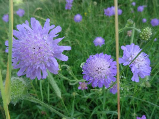 Wiesen-Knautie, Witwenblume