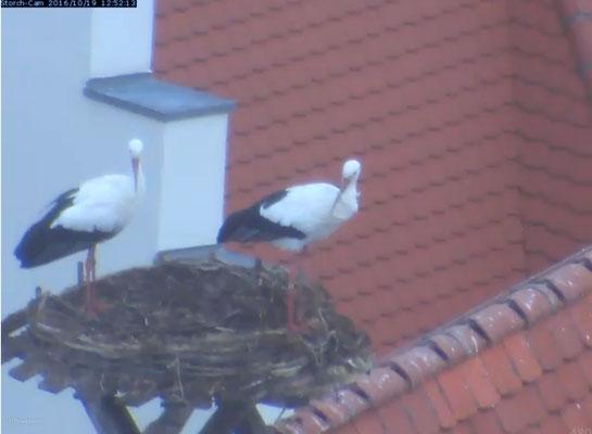 Foto: Webcam Stadt Biberach -am Tag danach, die Störche inspizieren das aufgeräumte Nest-