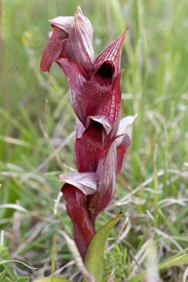 Serape orientalis ssp. apulica