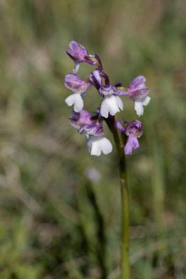 Orchis mori ssp.