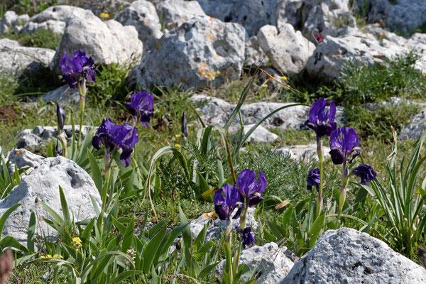 Wilde Schwertlilien