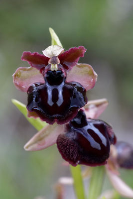 Ophrys sphegodes ssp.