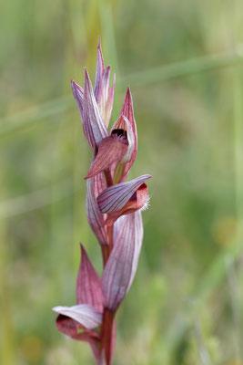 Serapias orientalis subsp. apulica