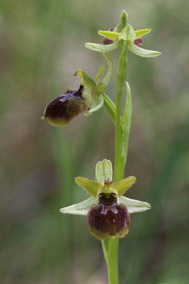Spinnen-Ragwurz (Ophrys sphegodes)