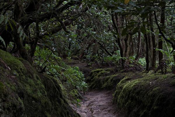 Im Lorbeerwald des Anaga-Gebirges