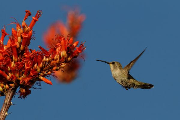Kolibri an einem blühenden Ocotillo-Strauch (Fouquieria splendens)