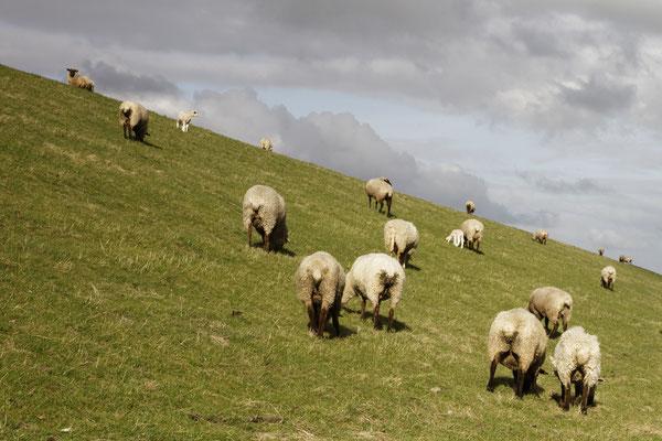 """Schafe, die den Hochwasserdamm """"mäht"""""""