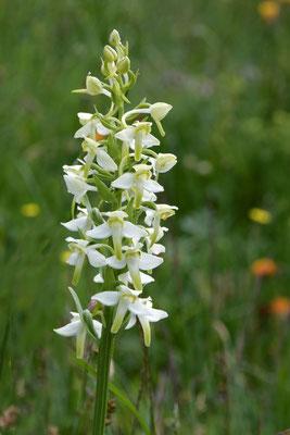 Weiße Waldhyazinthe (Platanthera bifolia)