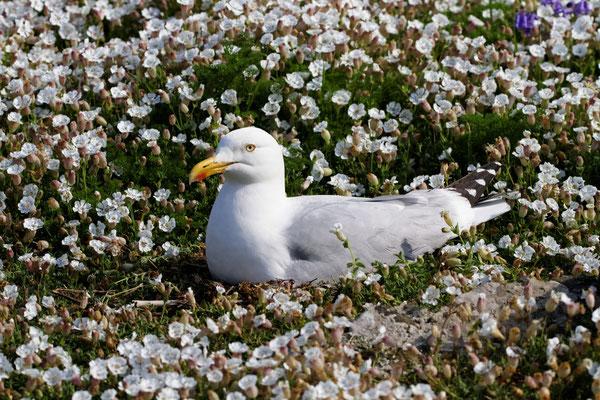 Vogelfelsen der Sept Iles (brütende Silbermöwe)
