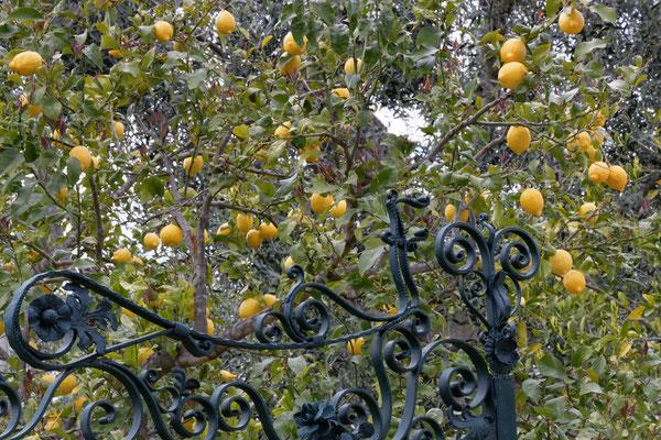 Das Land in dem die Zitronen blühen ...