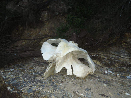 Walkopf am Strand  - wale skull t the beach