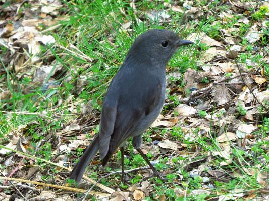 Aus der Rotkehlchenfamilie  -  NZ grey breasted Robin