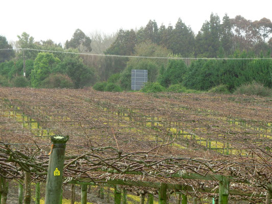 Kiwi plantation on the way to Rotorua  -  Kiwiplaantage auf dem Weg in Richtung Rotorua