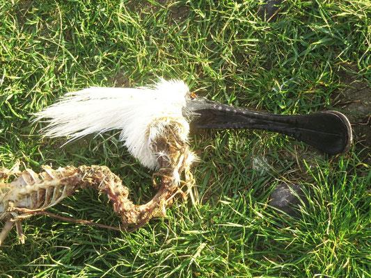toter Löffler  -  spoonbill