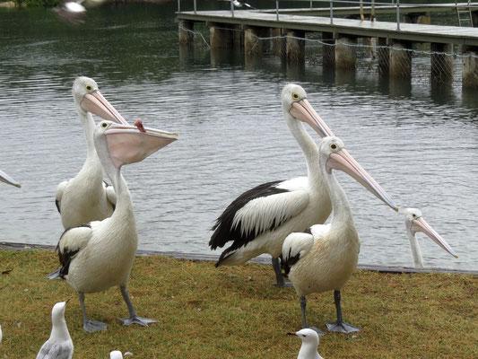 Pelikanfütterung in Woy Woy