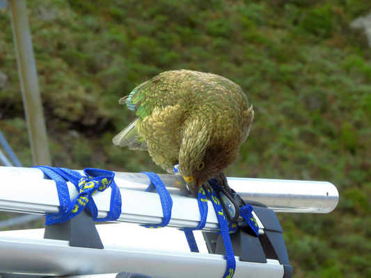 frecher Kea  -  cheeky Kea