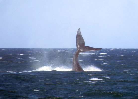 Wale in Puerto Madryn