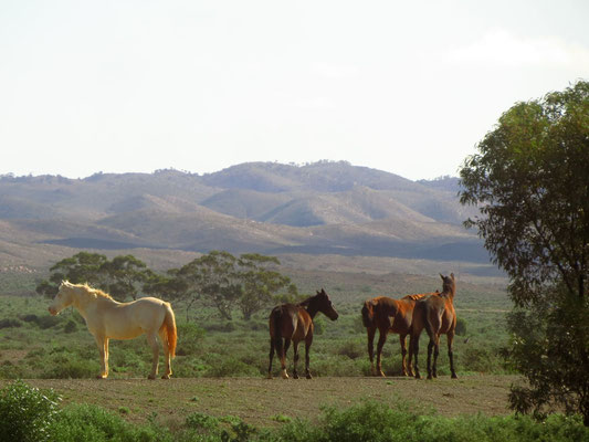 Flinders Ranges und Wildpferde  -  the Flinders and wild horses