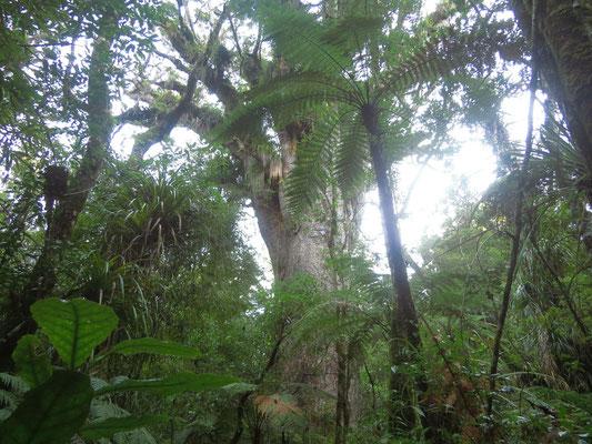 Kauribaum  -  Kauri tree