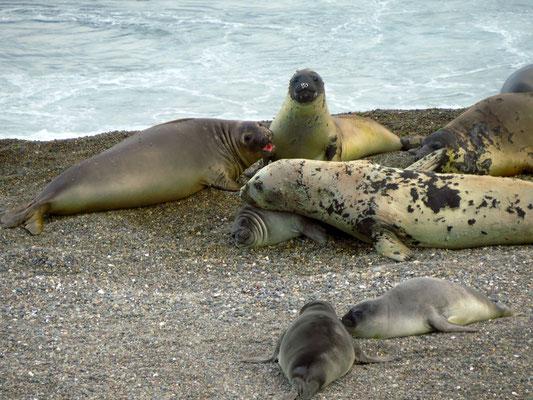 Seeelefanten  -  elephant seals