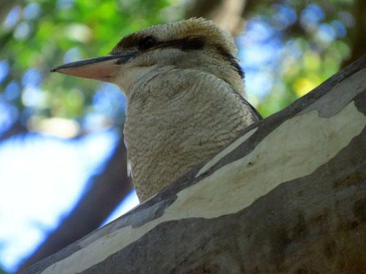 junger Kookaburra