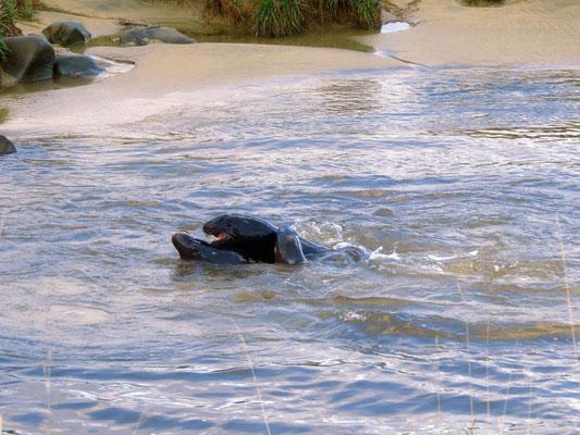 junge Seelöwen üben das Kämpfen  --  young sealions practise fighting