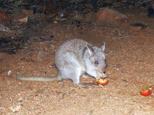 Rufus Bettong - niedlicher Besucher in der Nacht   -  I did have to give this cutie a treat