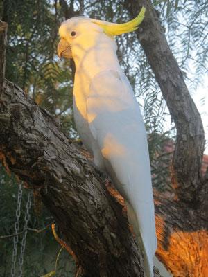 und Kakadus im Garten  -  and Cockatoos