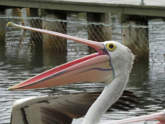 feeding the pelicans in Woy Woy