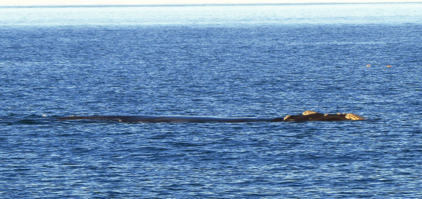 Buckelwal  -  humpback whale