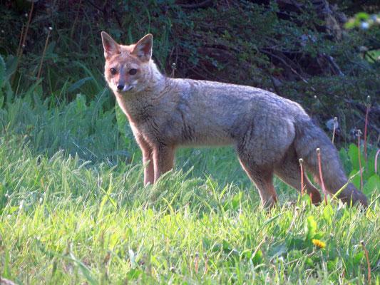 Feuerlandfuchs  - Patagonian fox